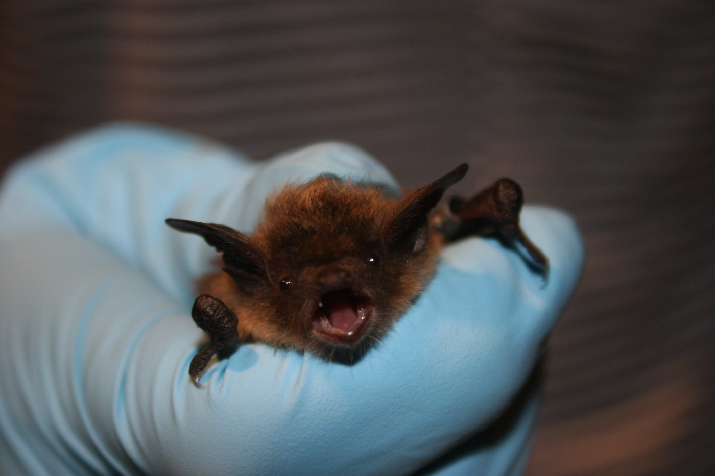 A small brown bat looks at the camera while a person wearing gloves holds it up