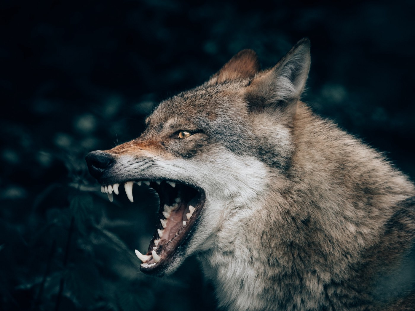 A gray wolf snarling in a forest.
