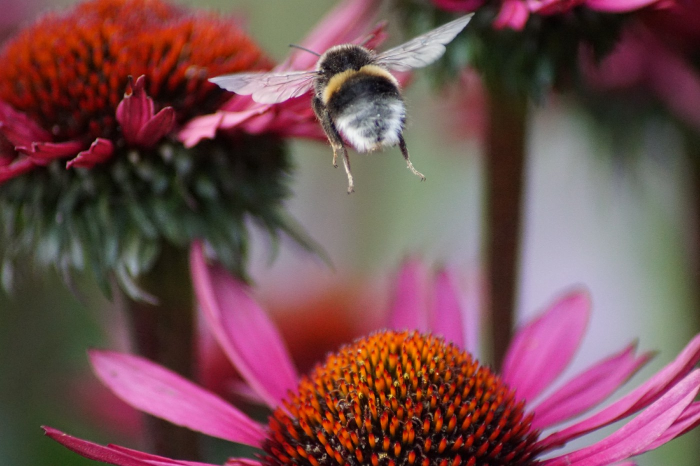 Buff-tailed bumblebee taking flight while foraging on, and pollinating, flowers