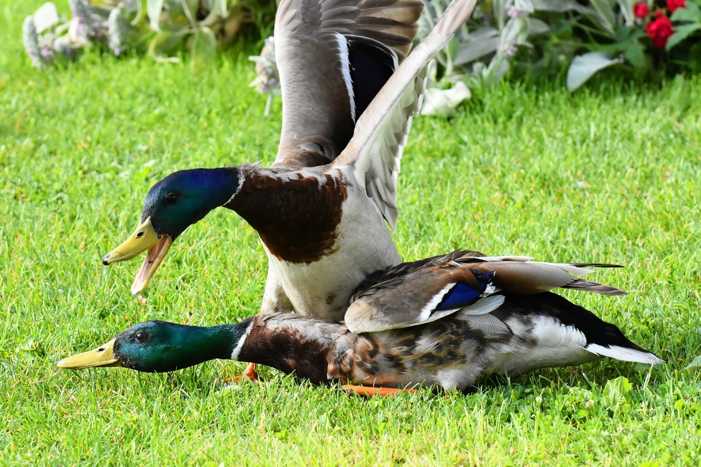 Manipulative duck not taking responsibility for his behavior toward his friend