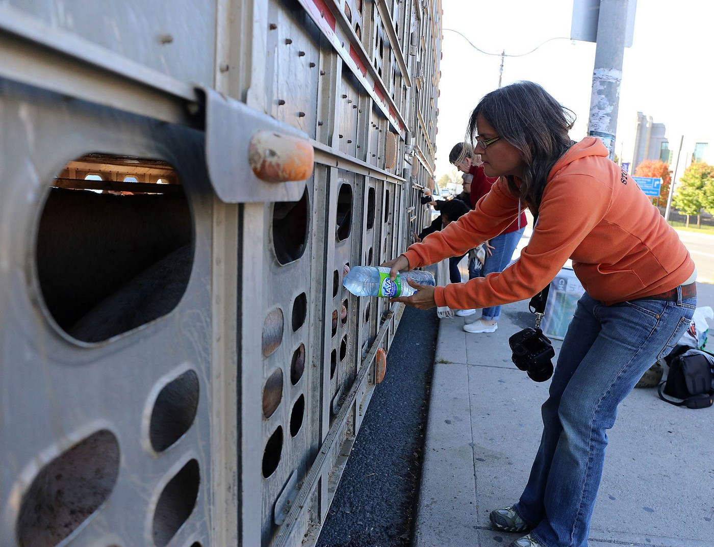 Pig in transport truck being given water by activist.