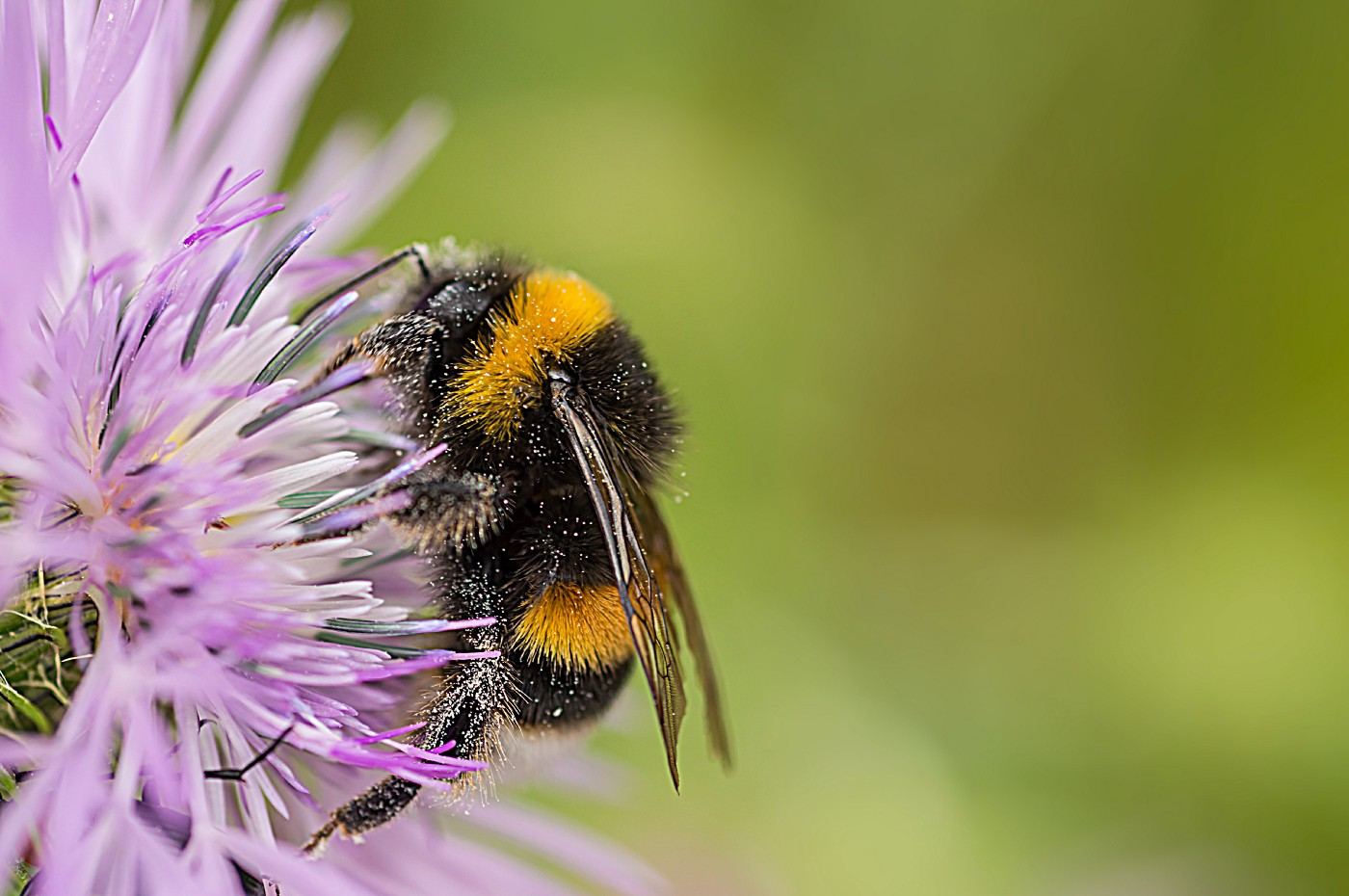 Unsplash photo featuring a bumble bee on a purple thistle-like flower.