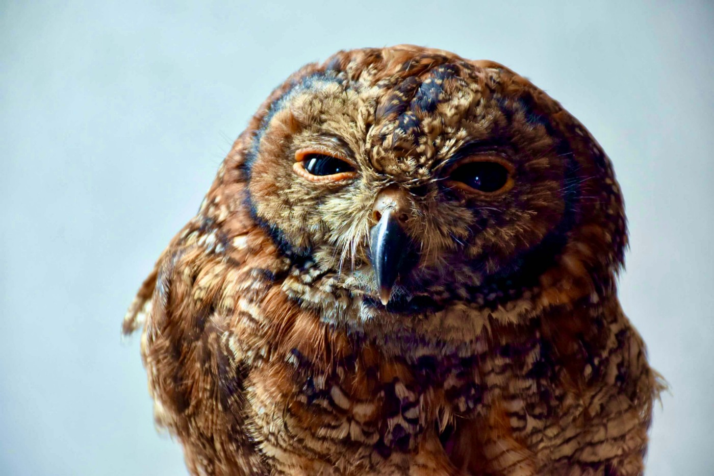A very judgemental looking owl… judging and plotting.