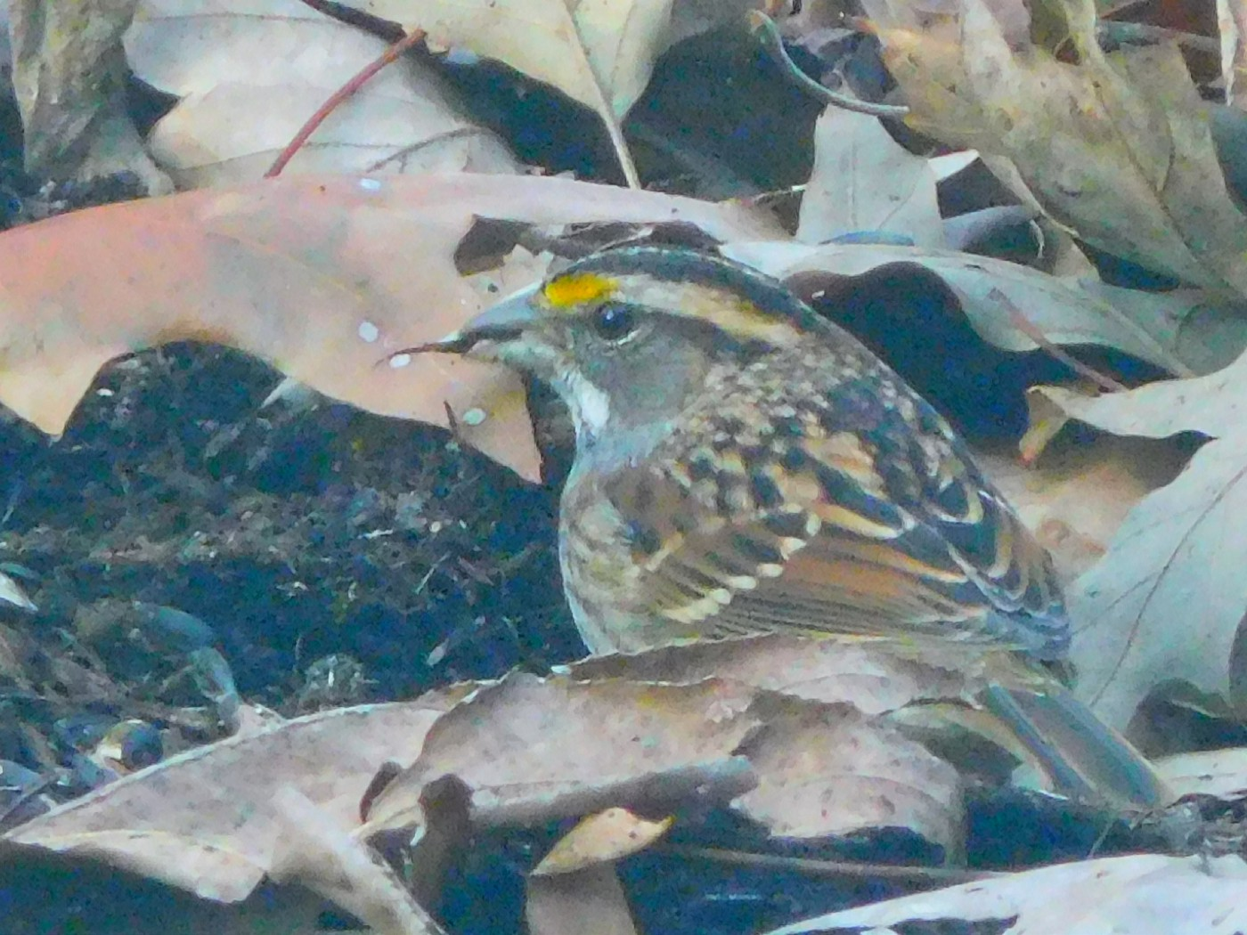 photograph of a sparrow with a bright yellow stripe on its head
