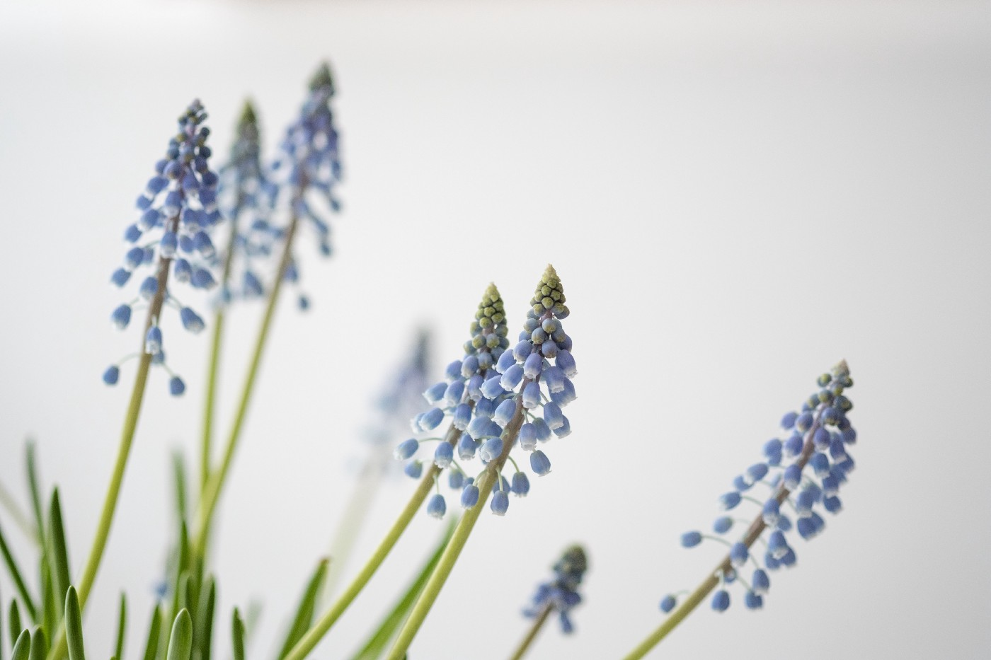 Blue flowers (Muscari) on a white background
