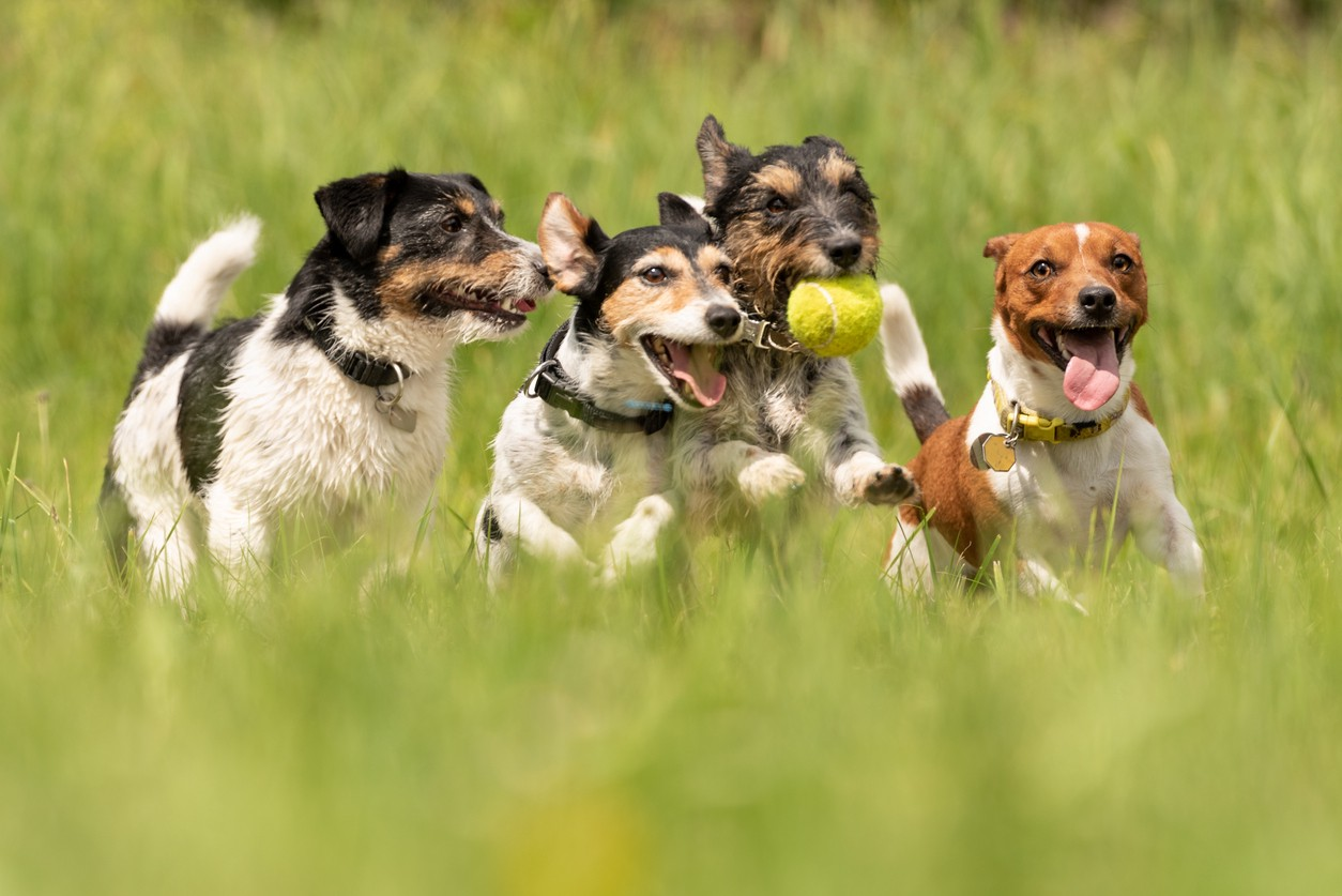 Many dogs run and play with a ball in a meadow — a pack of Jack Russell Terriers