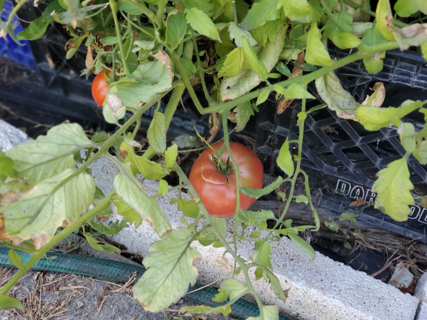 Looking down on a large tomato that is weighting down the vine of a tomato planted in a milk crate