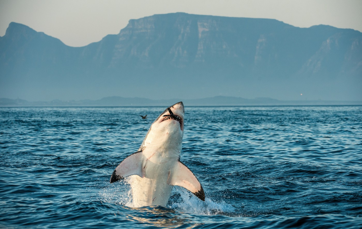 Shark leaping out of the water in Gansbaai South Africa.