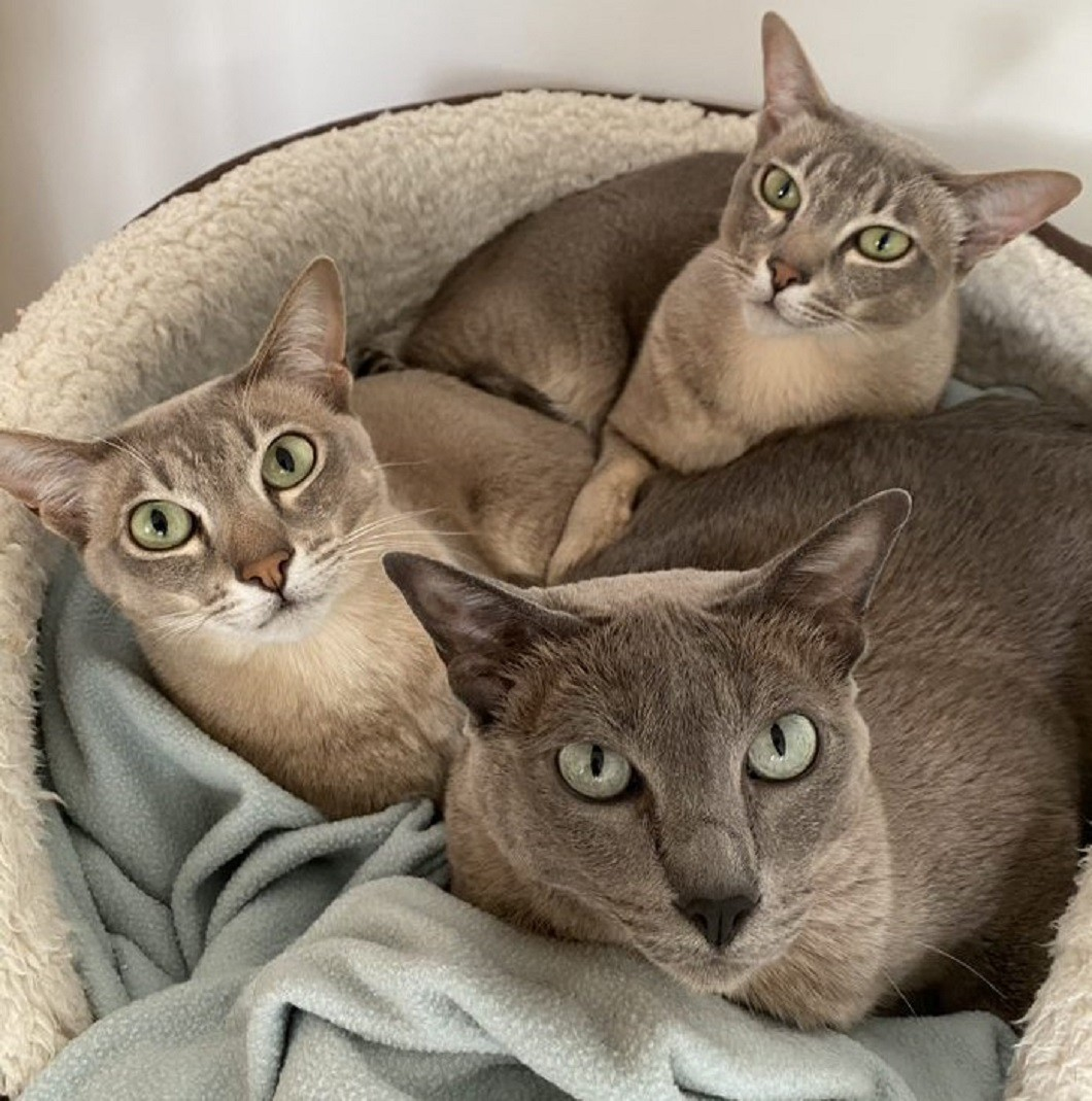 Three Tonkinese cats in a furry cat bed. They look sleepy and are cuddled up together with a blue blanket. Two of the cats have green eyes, tabby coloured grey blue and cream stripes. The third cat is grey-blue with aqua greenish eyes.