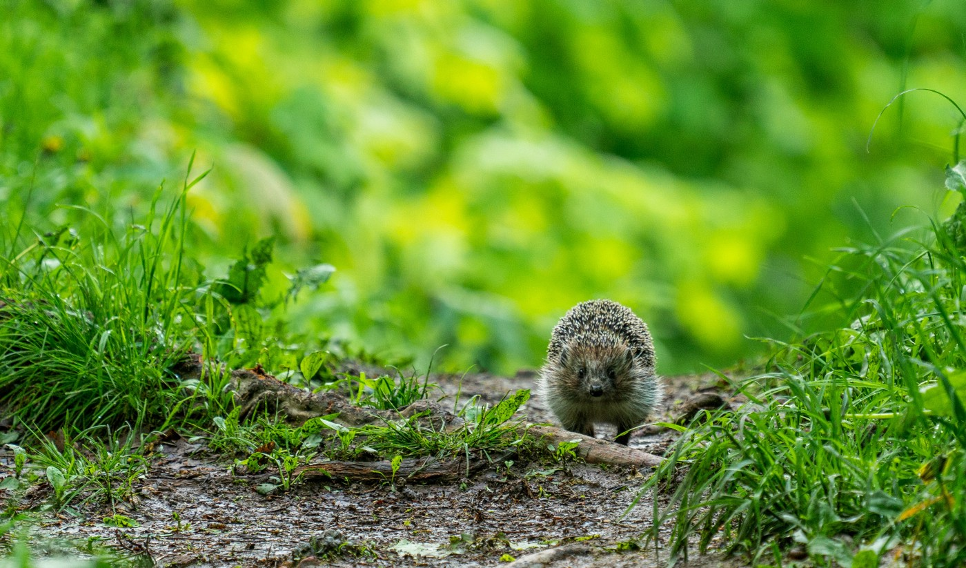 A small hedgehog running through a path in the woods