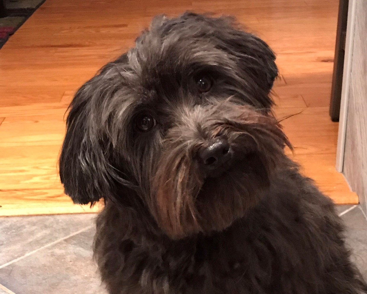 Black Havanese looking at camera with head tilted
