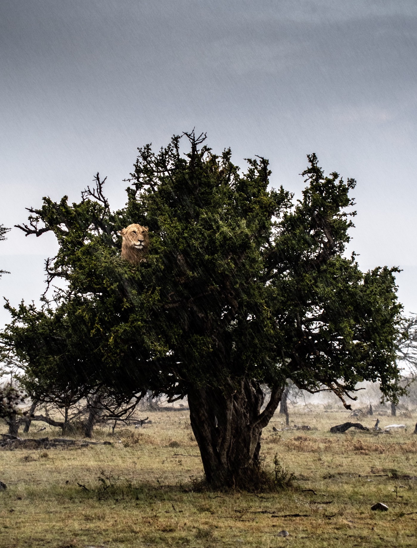 There is a big tree with a lioness on it, she is looking out from a gap in the benches, waiting for the right time to go down