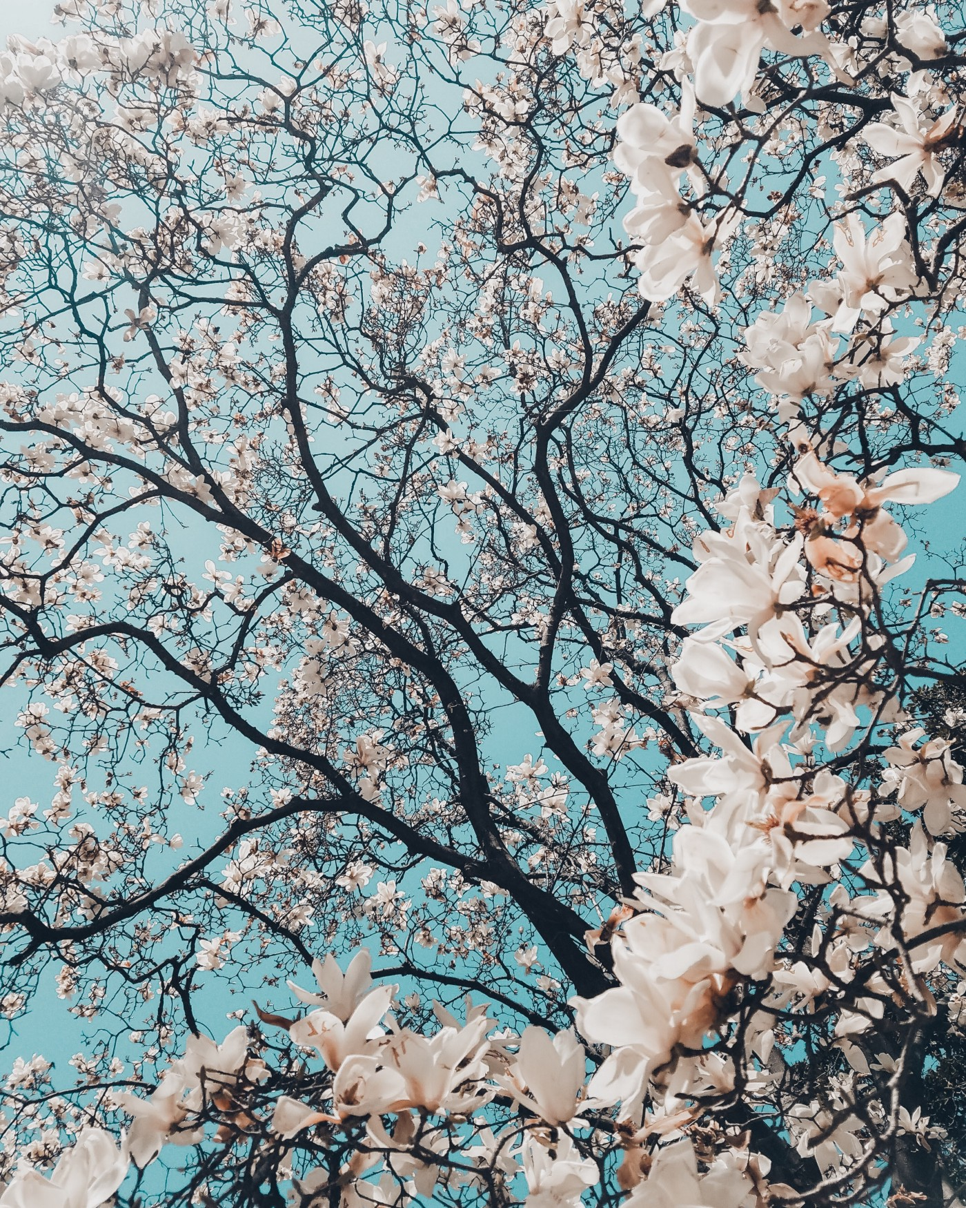 Cherry blossoms on branches (close up).