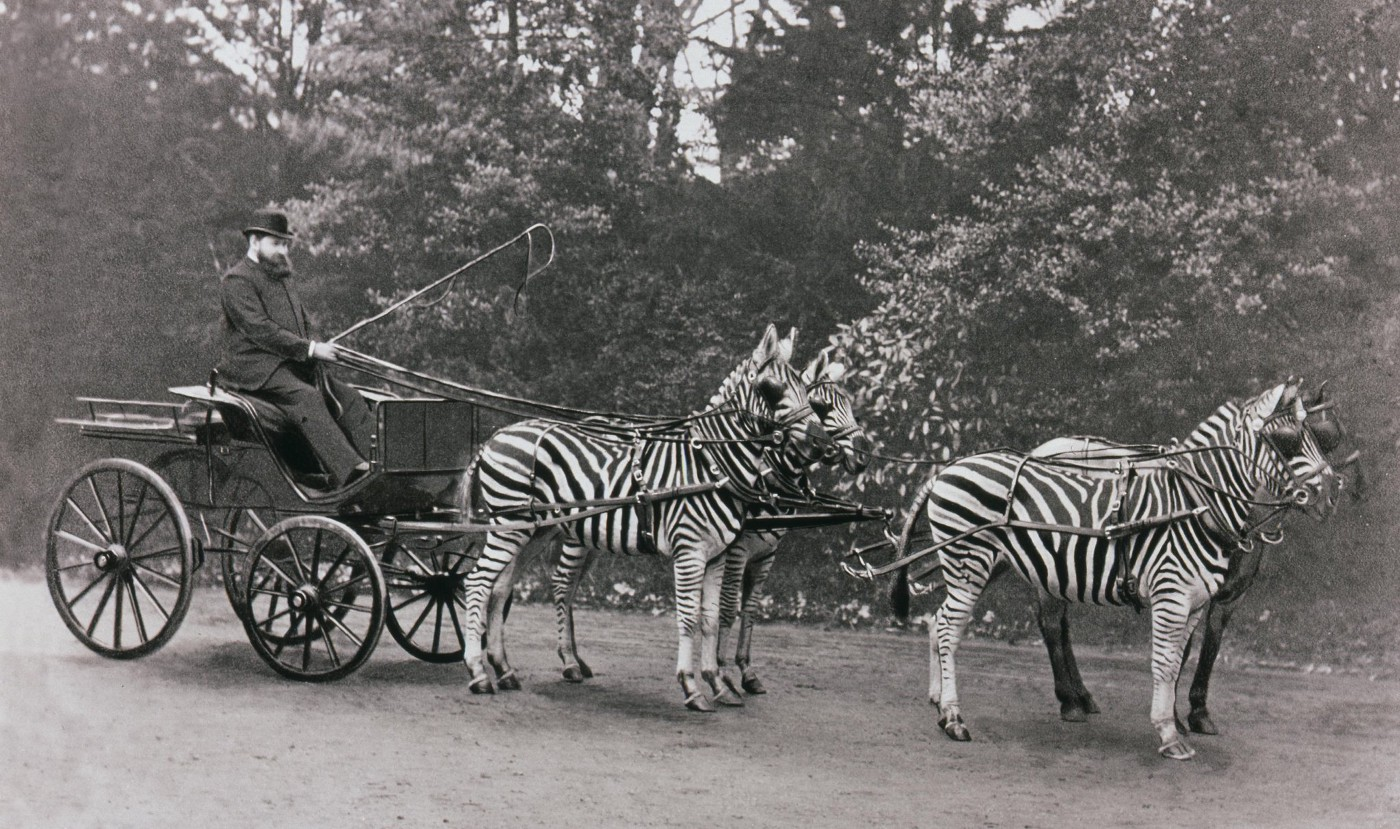 Man driving a carriage pulled by four zebras in 1895.