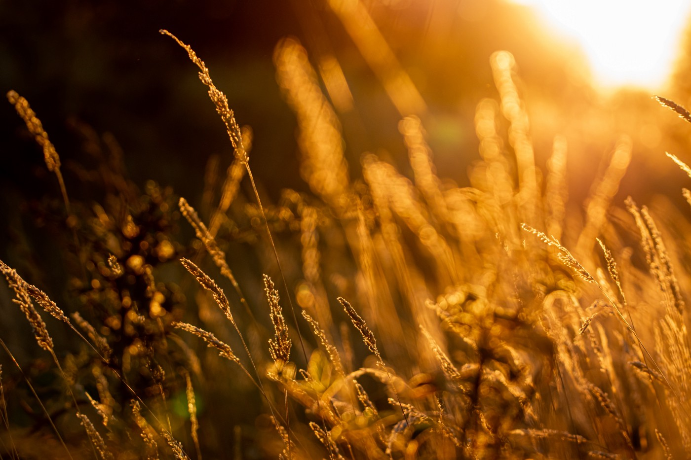 Tall grass glowing in the sunlight