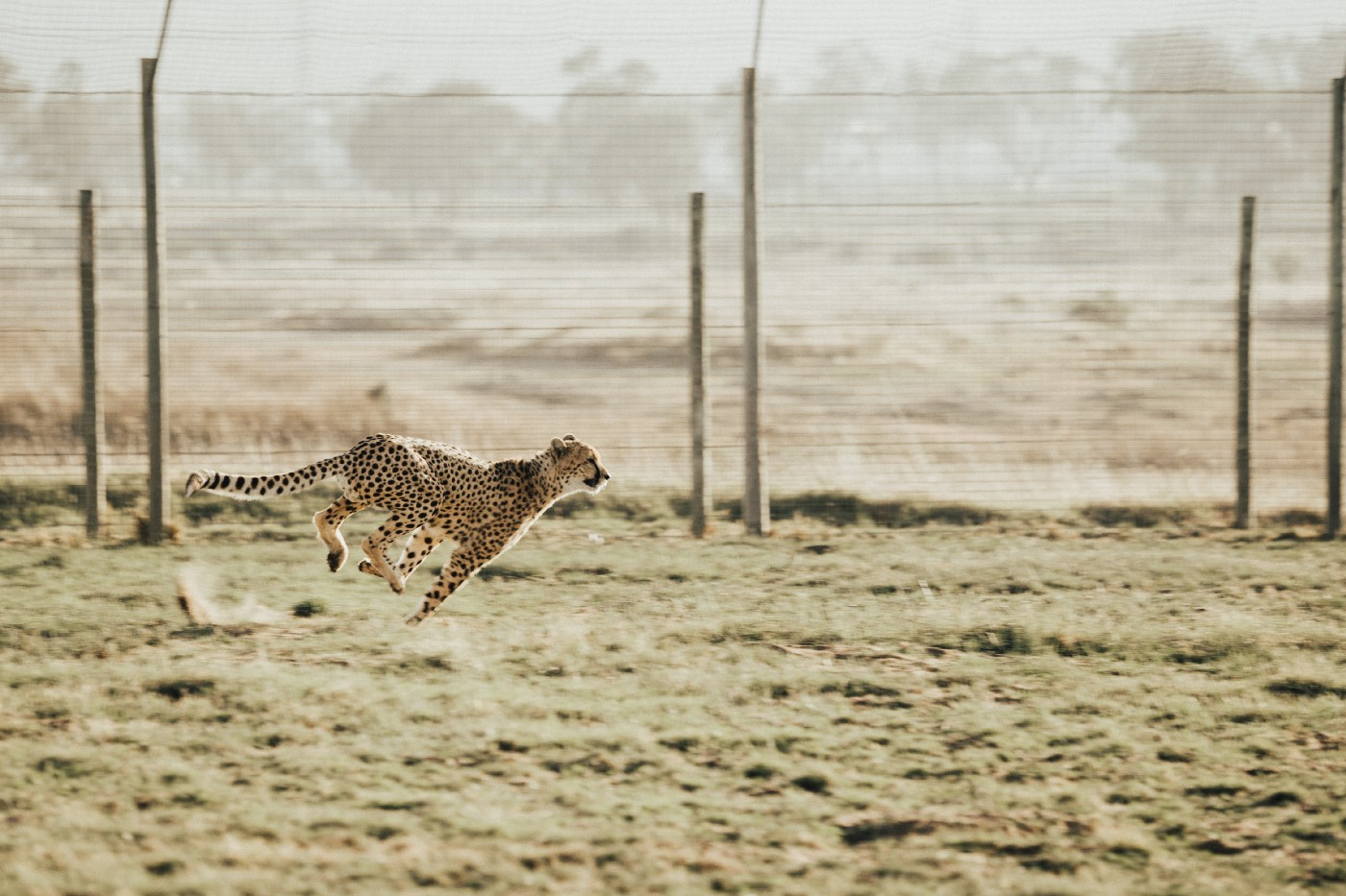 Photo of cheetah running
