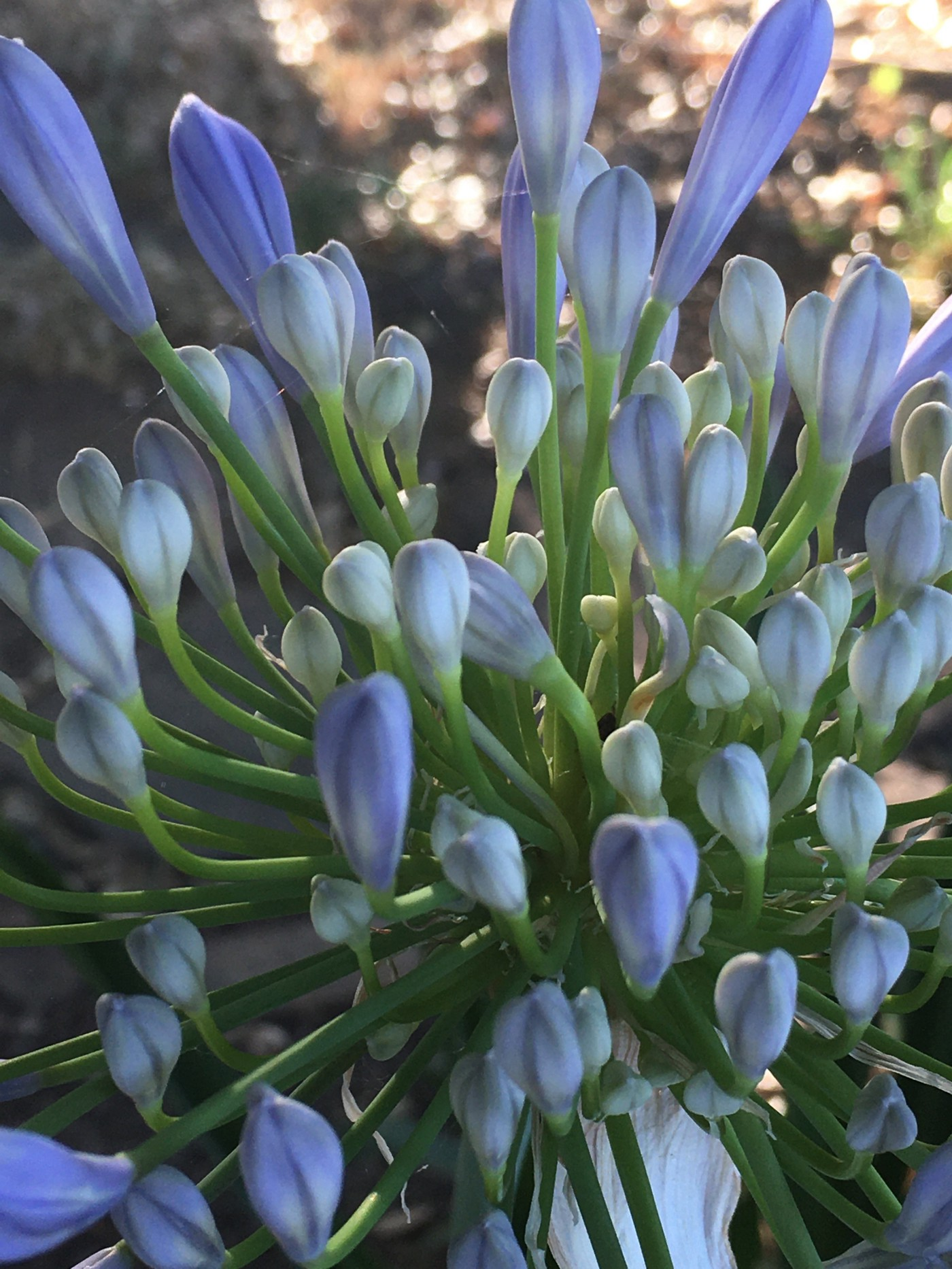 Close-up of multiple buds of a lavender, large Agapanthus flower