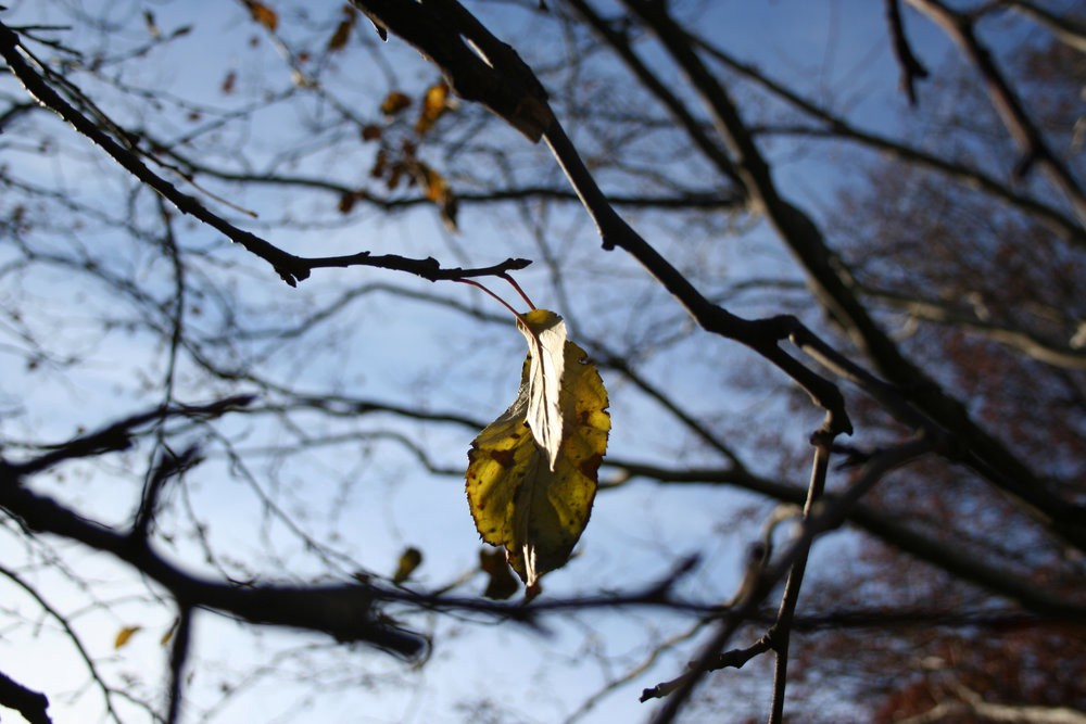 A close-up of tree branches, with a single autumn leaf hanging on as it turns yellow.