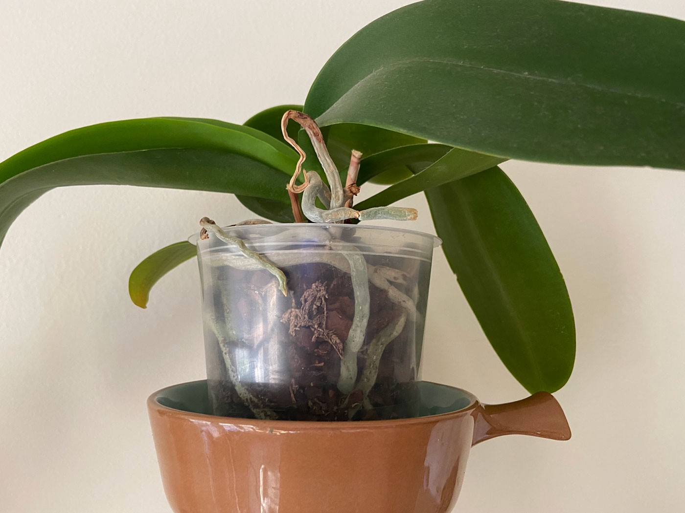 An orchid in a pot.