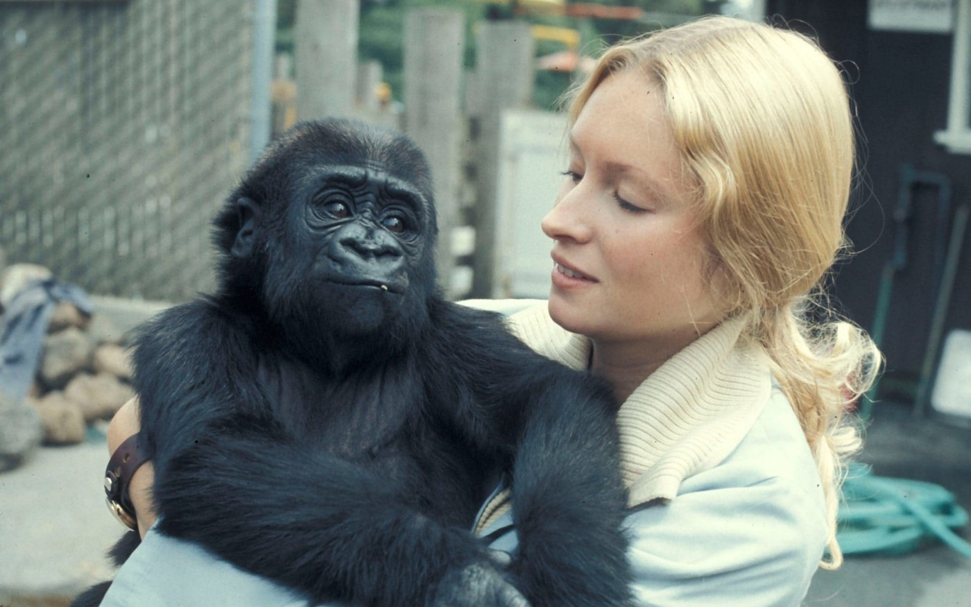 Penny, the American psychologist, holds Koko the Gorilla in her arms.