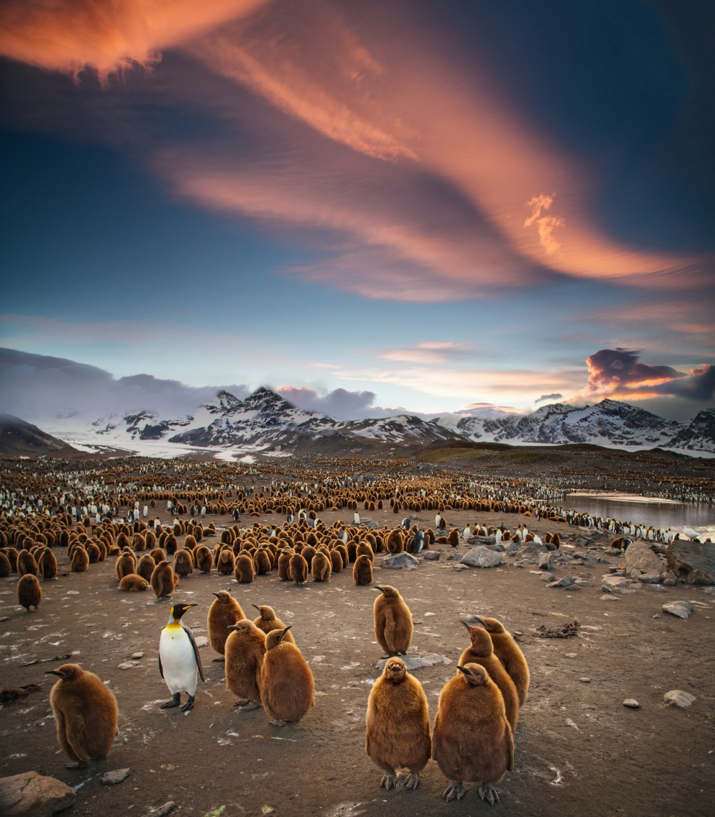Groups of penguins together in South Georgia against mountainous backdrops and pink clouded sky