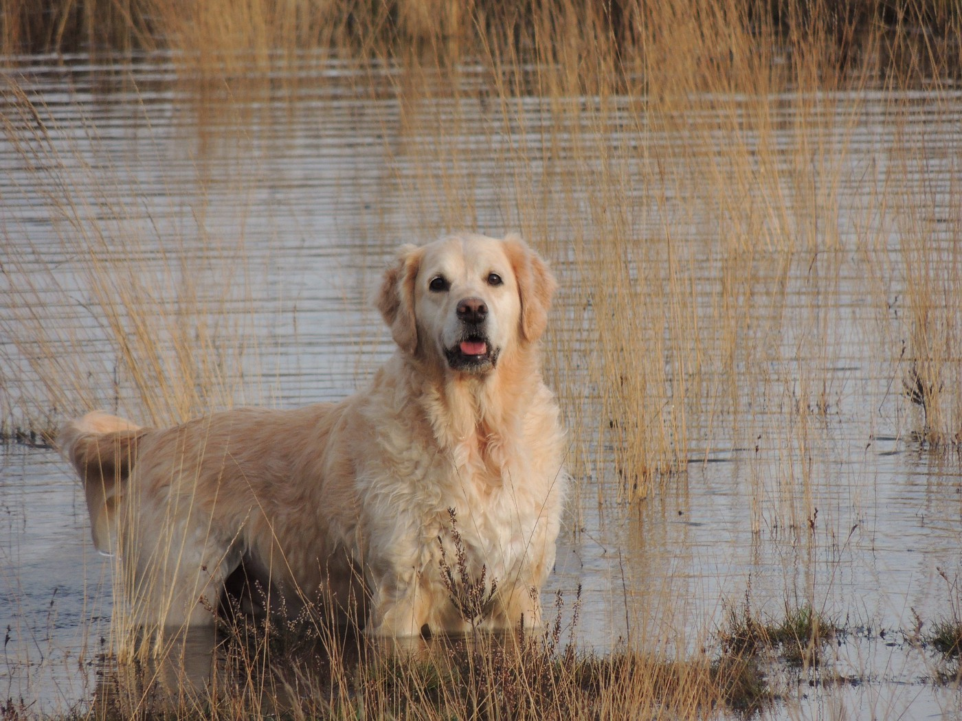Large Golden Retriever standing in lake and marsh