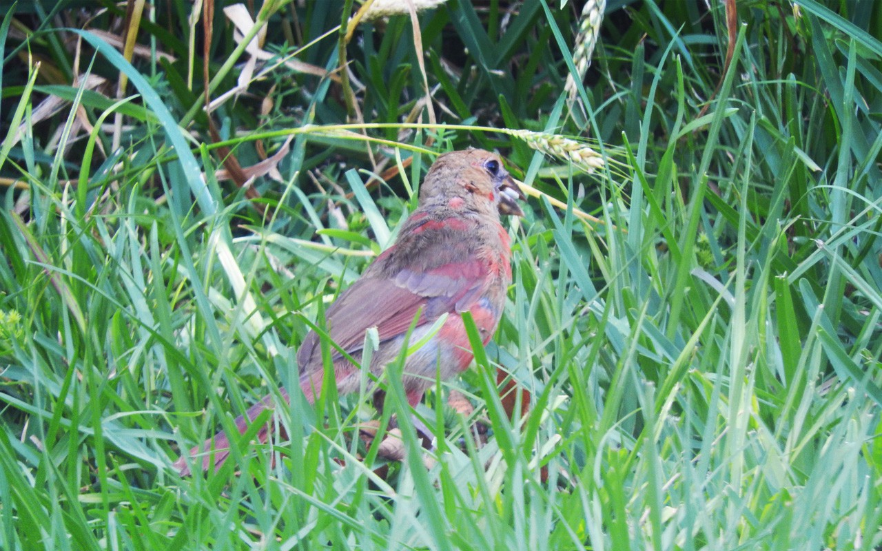 A recently fledged Northern Cardinal is a splotchy bird indeed