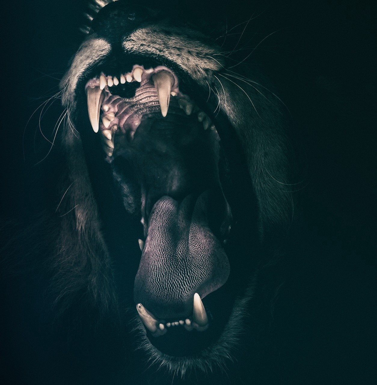 Black and white image of a Lion's jaws. Open wide and attacking.