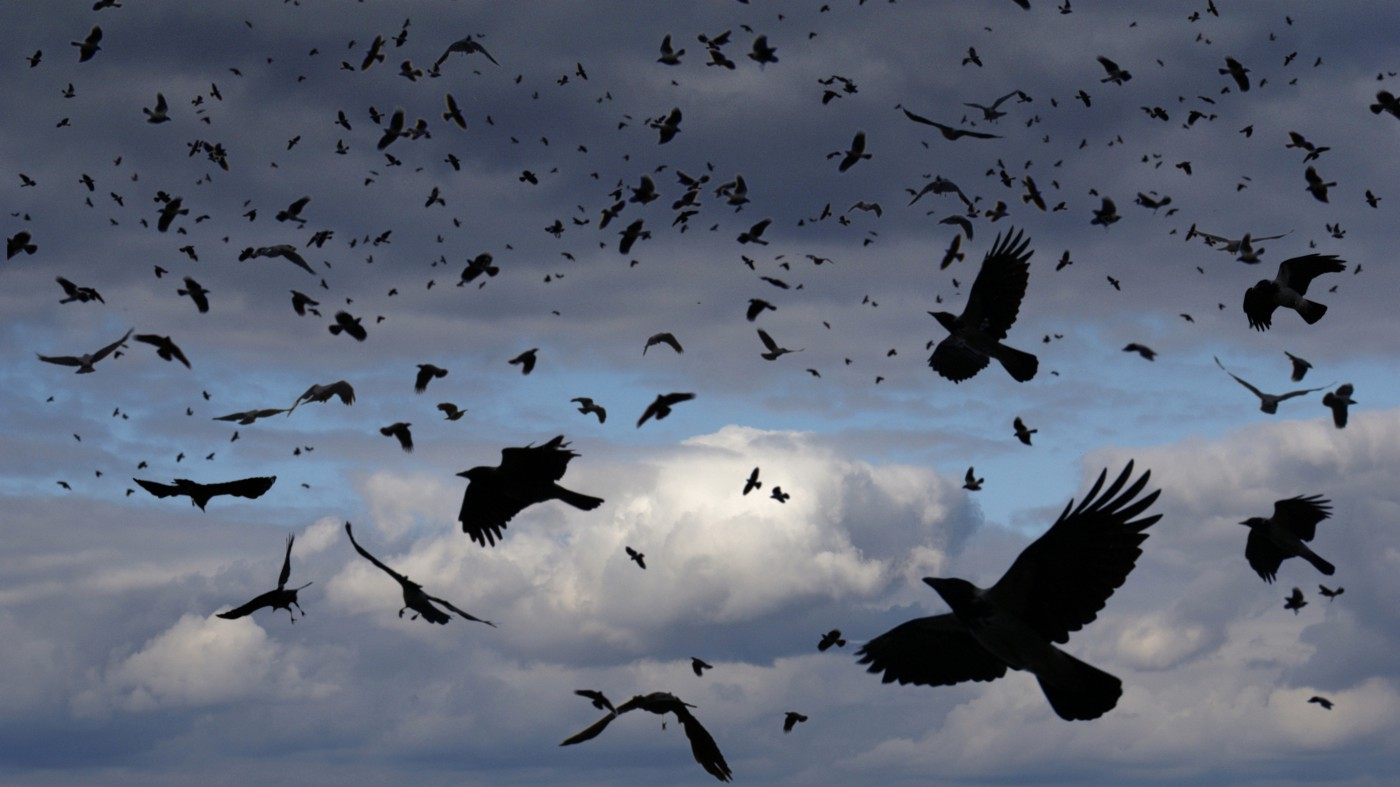 Flock of black crows in flight against clouds and blue sky.