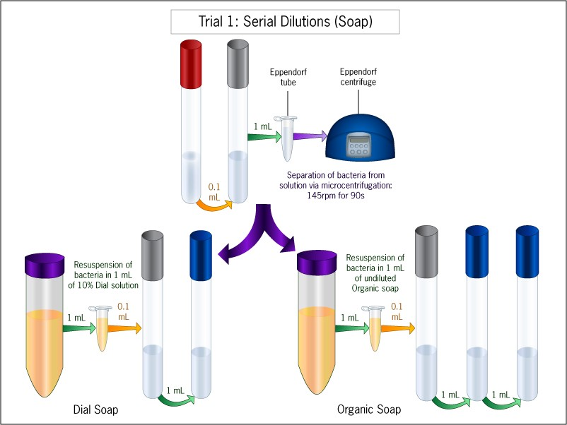 Diagram showing various test tubes that were split into diluted solutions, and a centrifuge that was used at some point.