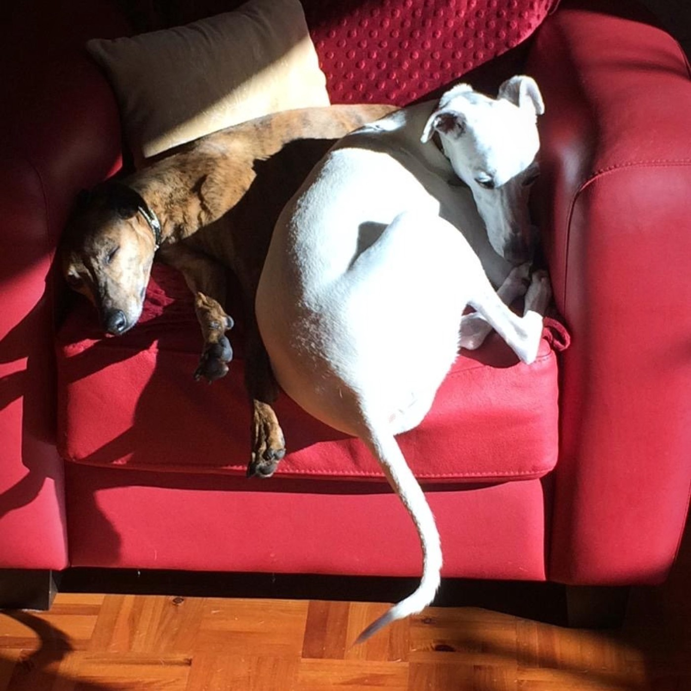 A brown whippet and a white whippet sleeping together on a red leather armchair dappled in sunshine.