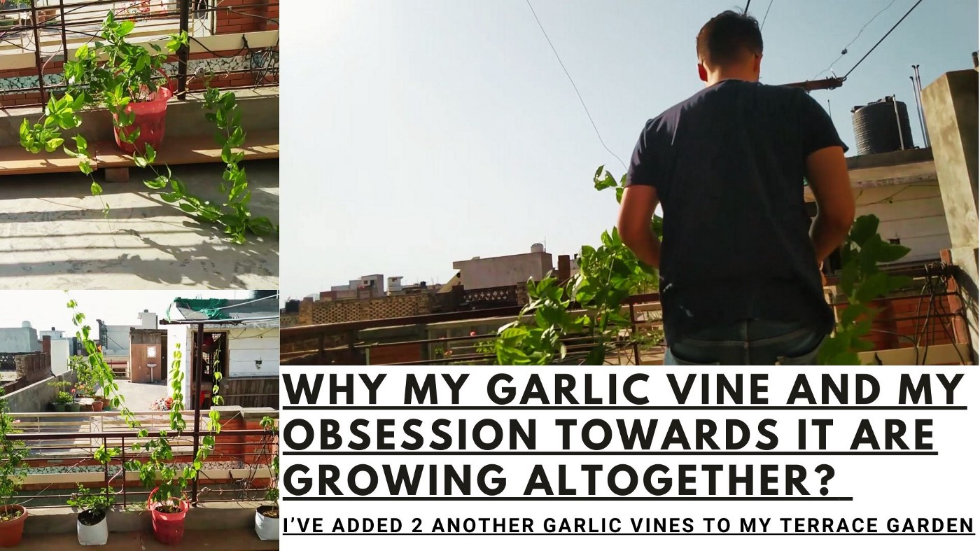 Why my Garlic vine and my obsession with it are growing altogether? by Parth Mayn
