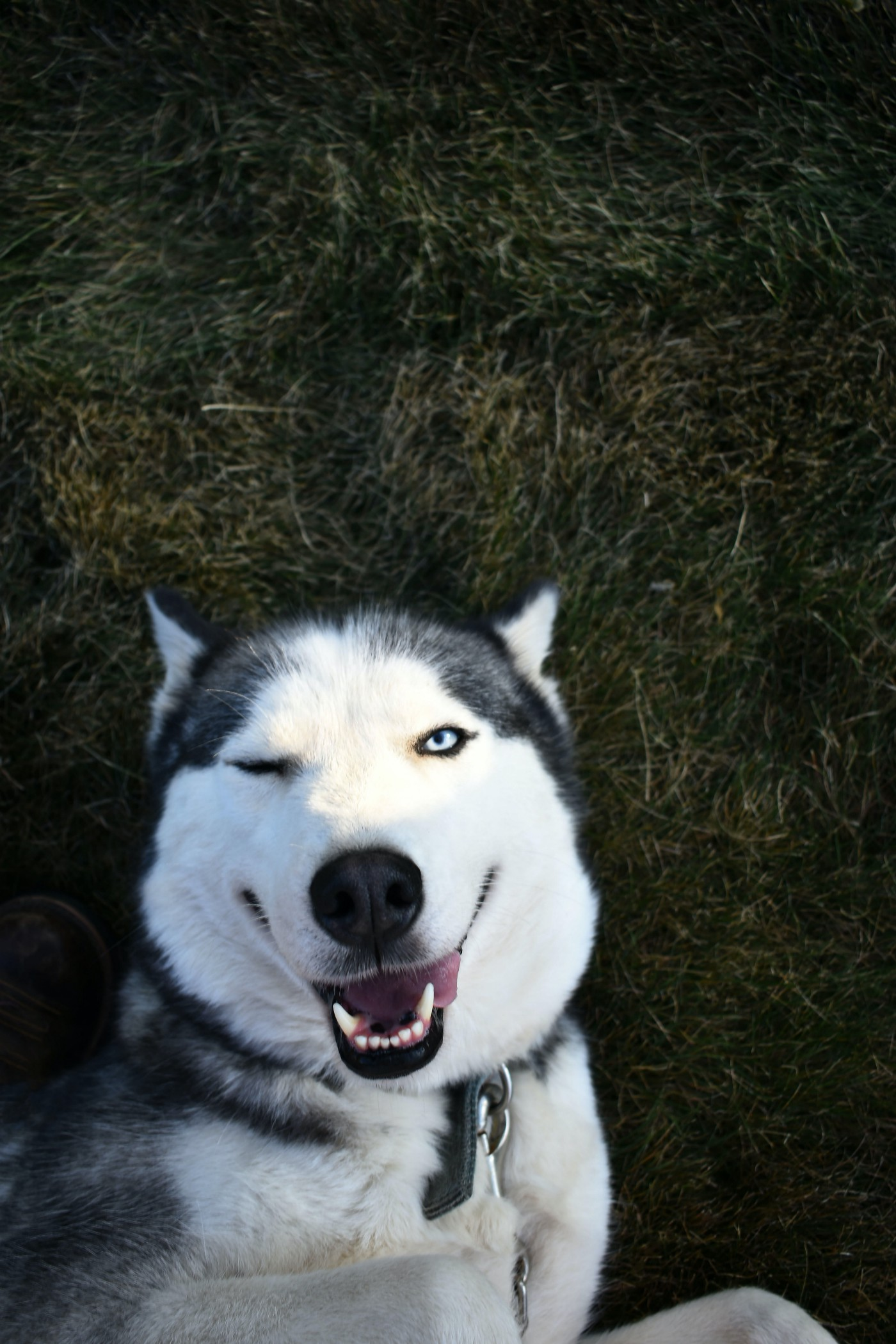 husky on its back winking roguishly at the camera