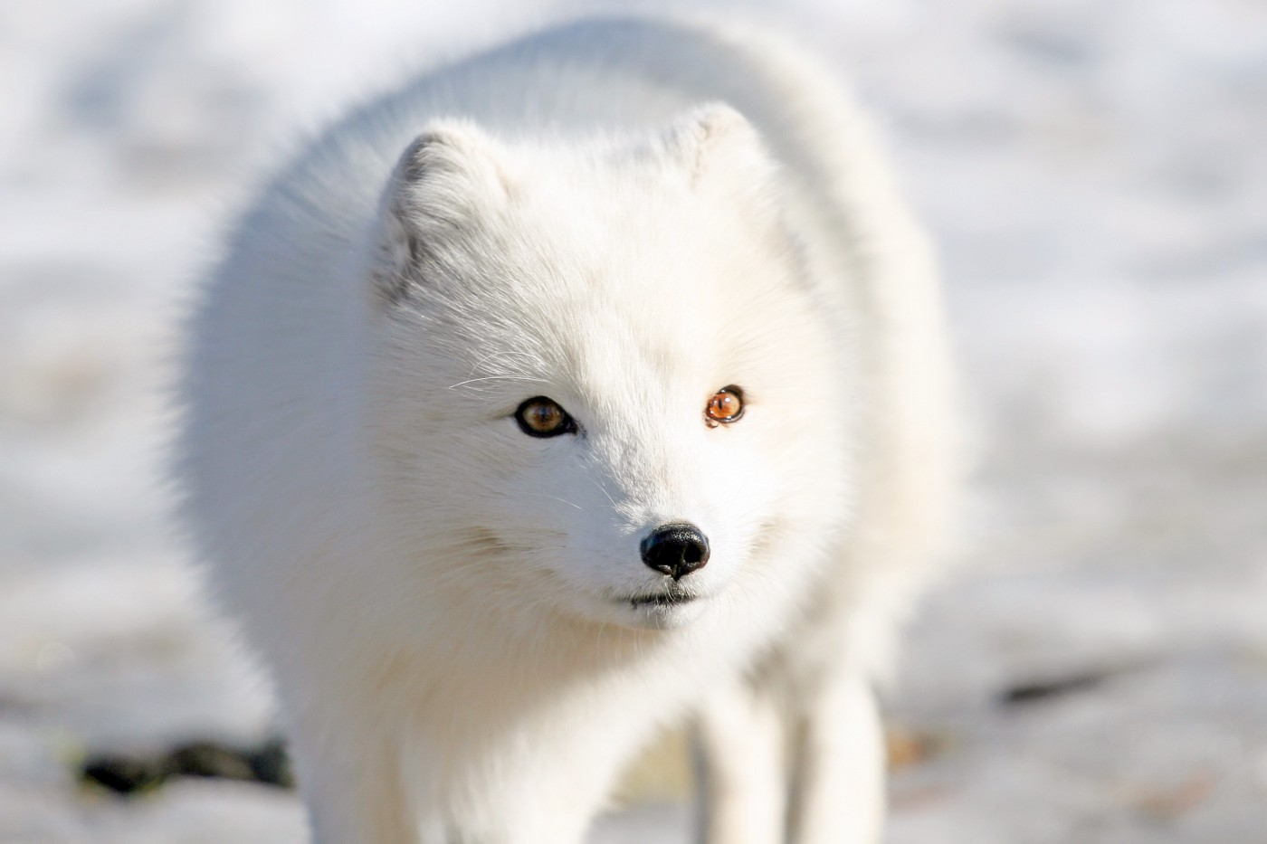 A pure white fox with short ears and golden eyes.