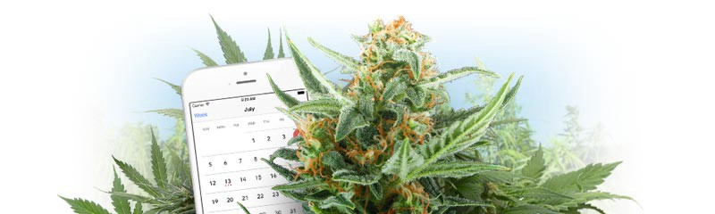 The 10 Advantages Of Growing Autoflowering Cannabis Seeds