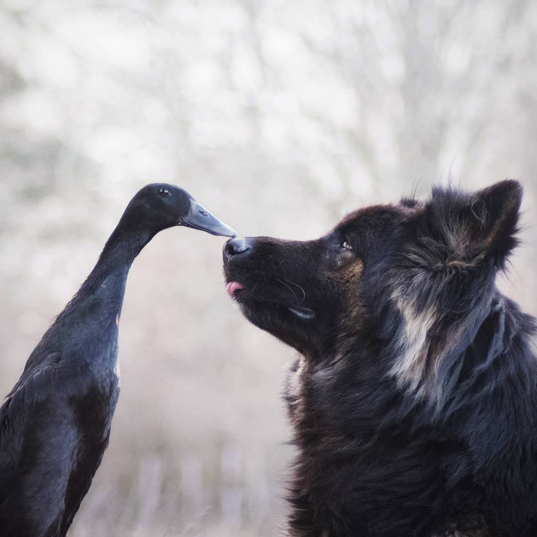 A black duck and a german shepherd dog touch beak to nose in a photograph of the two friends