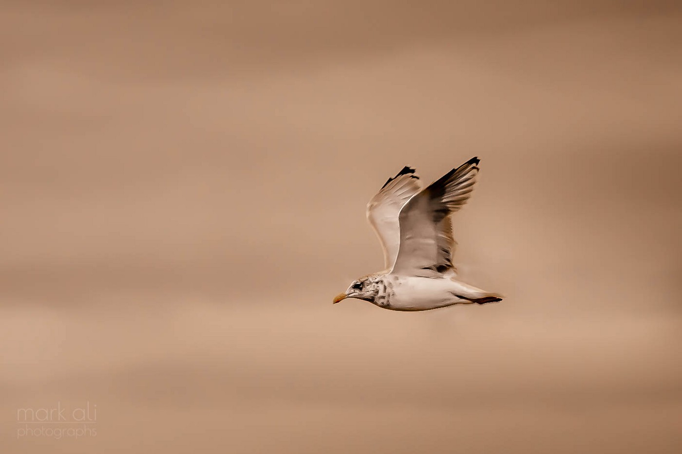 A seagull in flight, against a brown/sepia background.