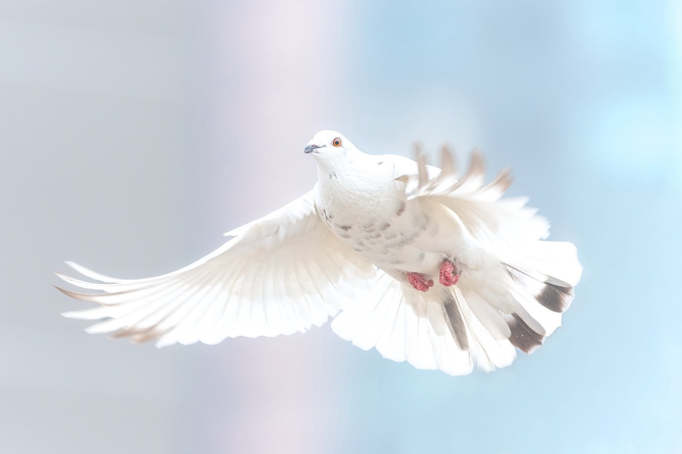 A dove proclaims peace on earth and goodwill towards all.
