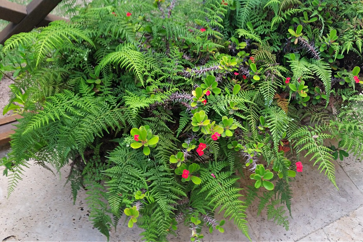 Red Crown of Thorn blossoms mingled with green, feathery ferns in a window box