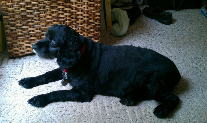 black cocker spaniel with a red collar laying on a white carpet