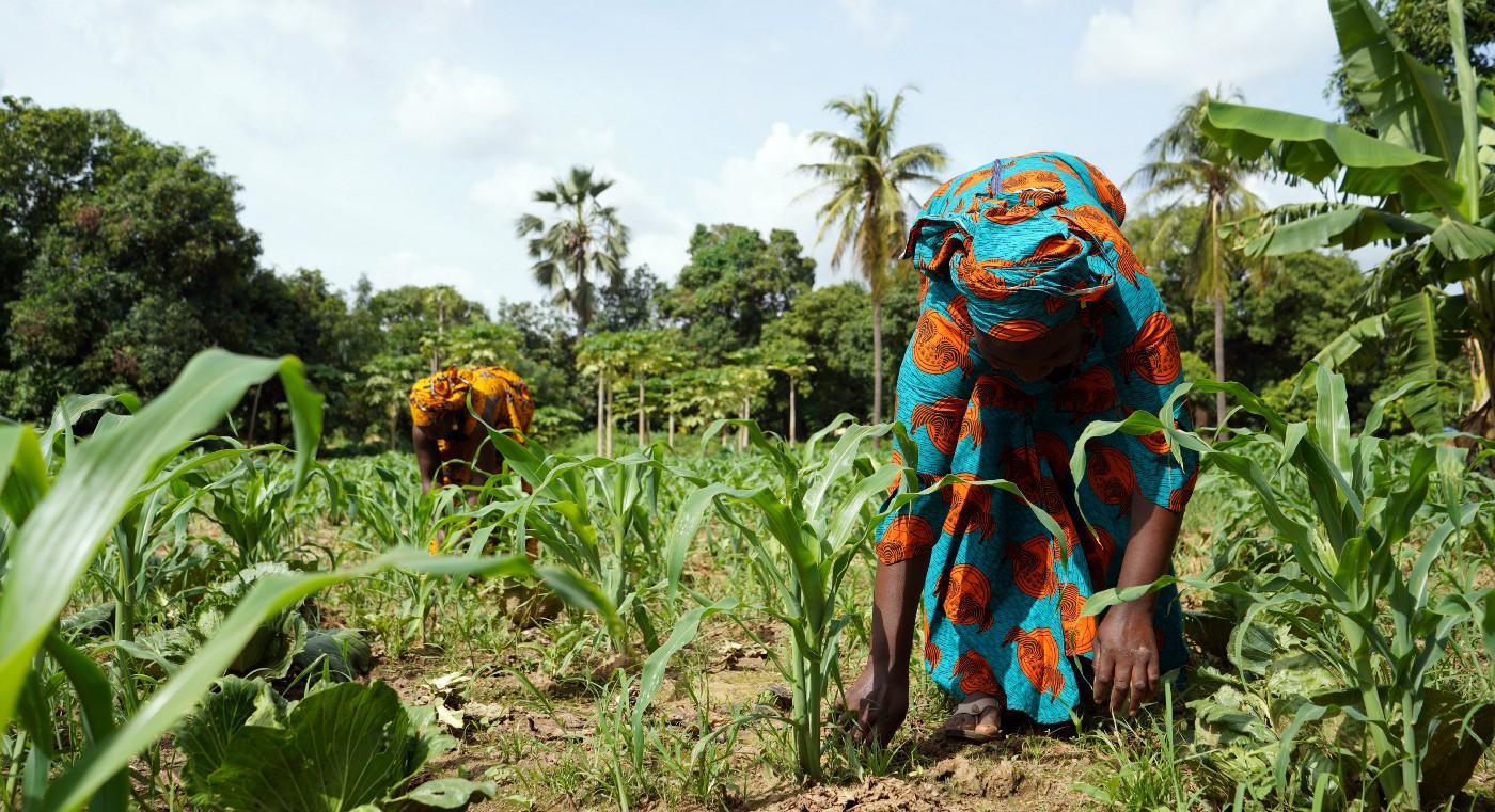 Two people weeding around maize crops by hand