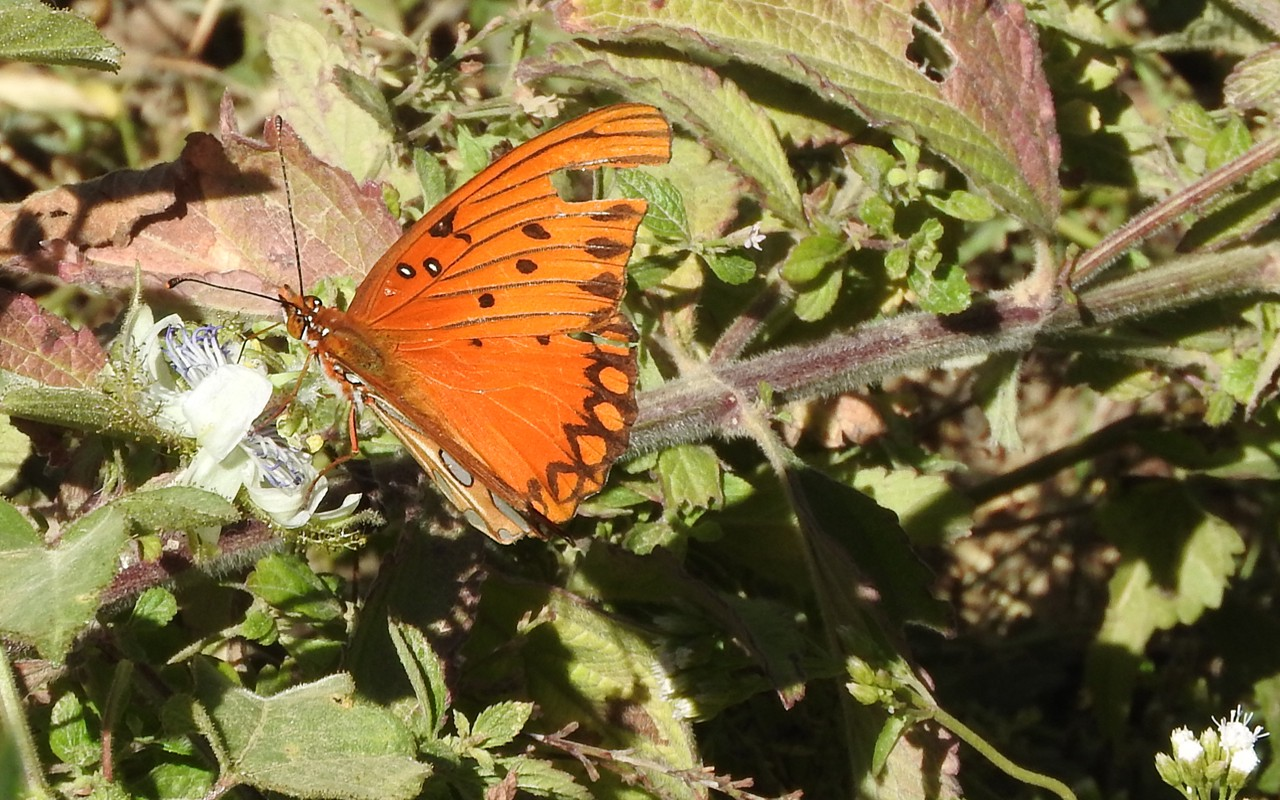 Orange butterfly with worn wings seen in a forest in Mexico