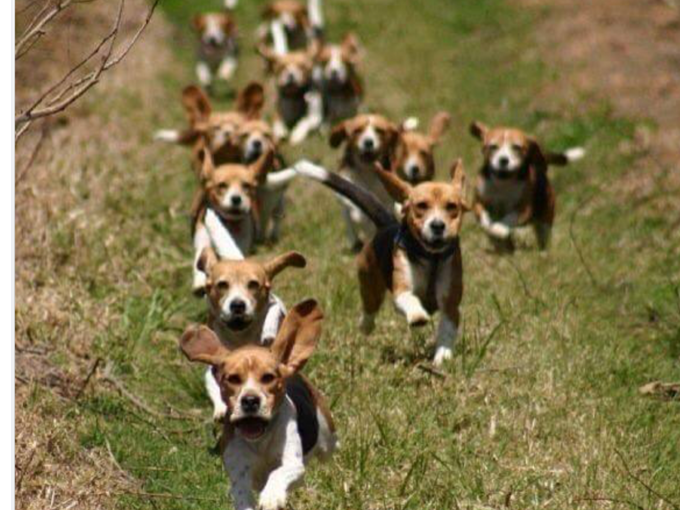 A pack of running beagles
