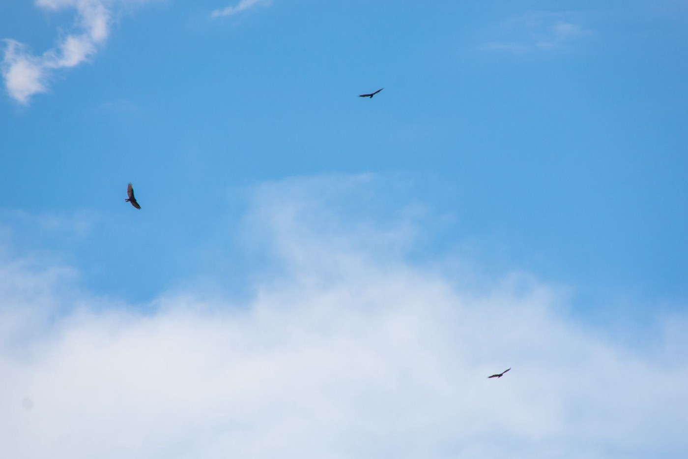 A photo of three birds flying in a blue sky with faint clouds.