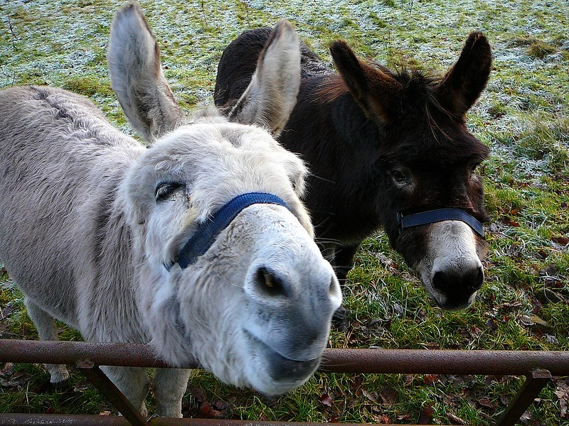Two donkeys, one white on the left and one dark one on the right