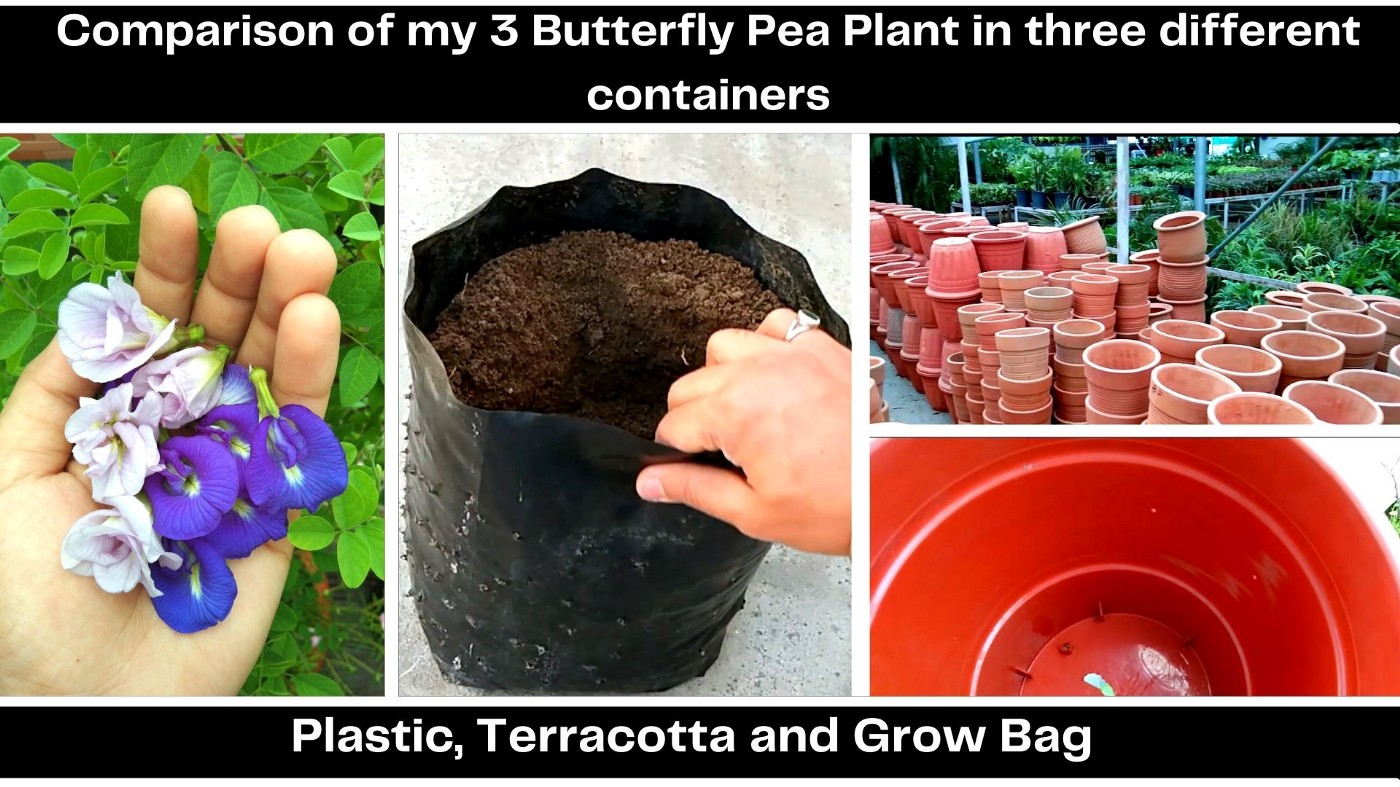 Comparison of my 3 Butterfly pea Plant in three different containers (Plastic, Terracotta and Grow Bag)