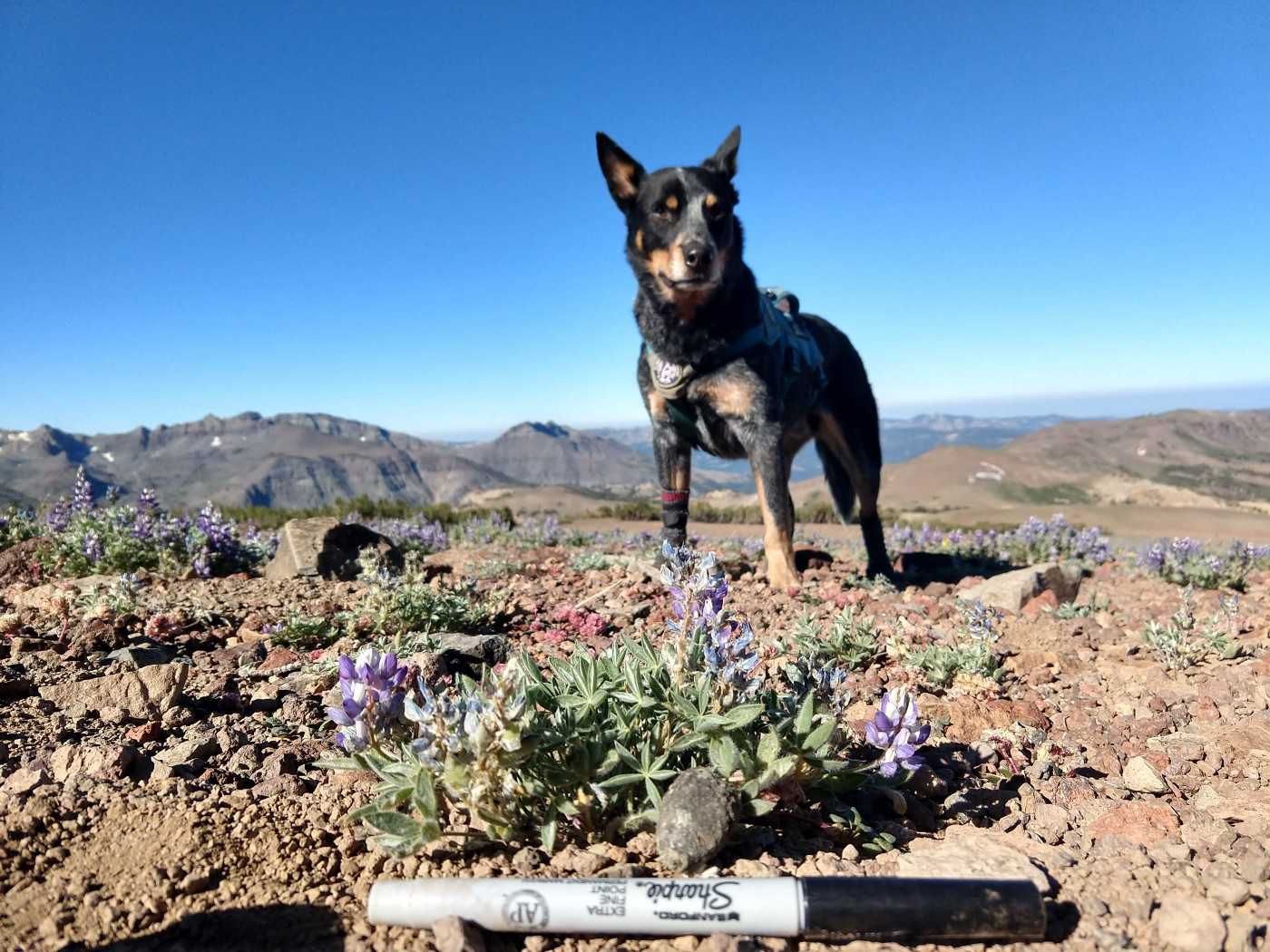 a dog overlooks fox scat that's next to purple flowers