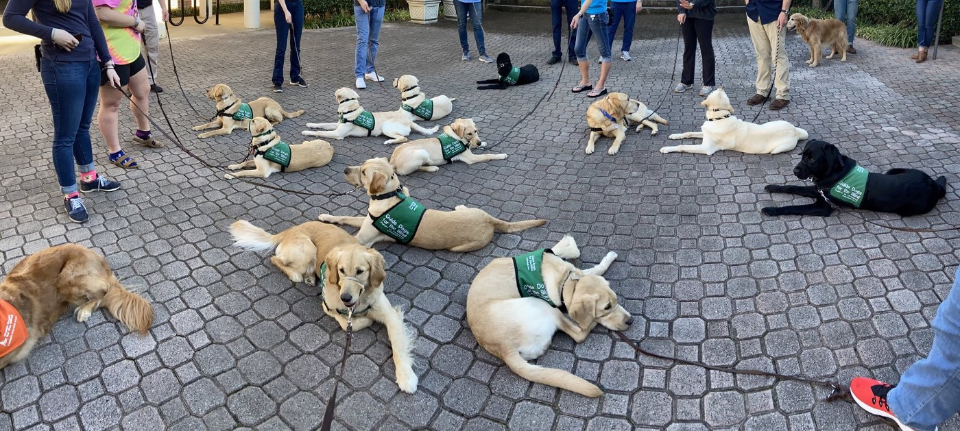 Several yellow labs, a few golden retrievers and two black labs lay calmly in green puppy vests on a stone patio