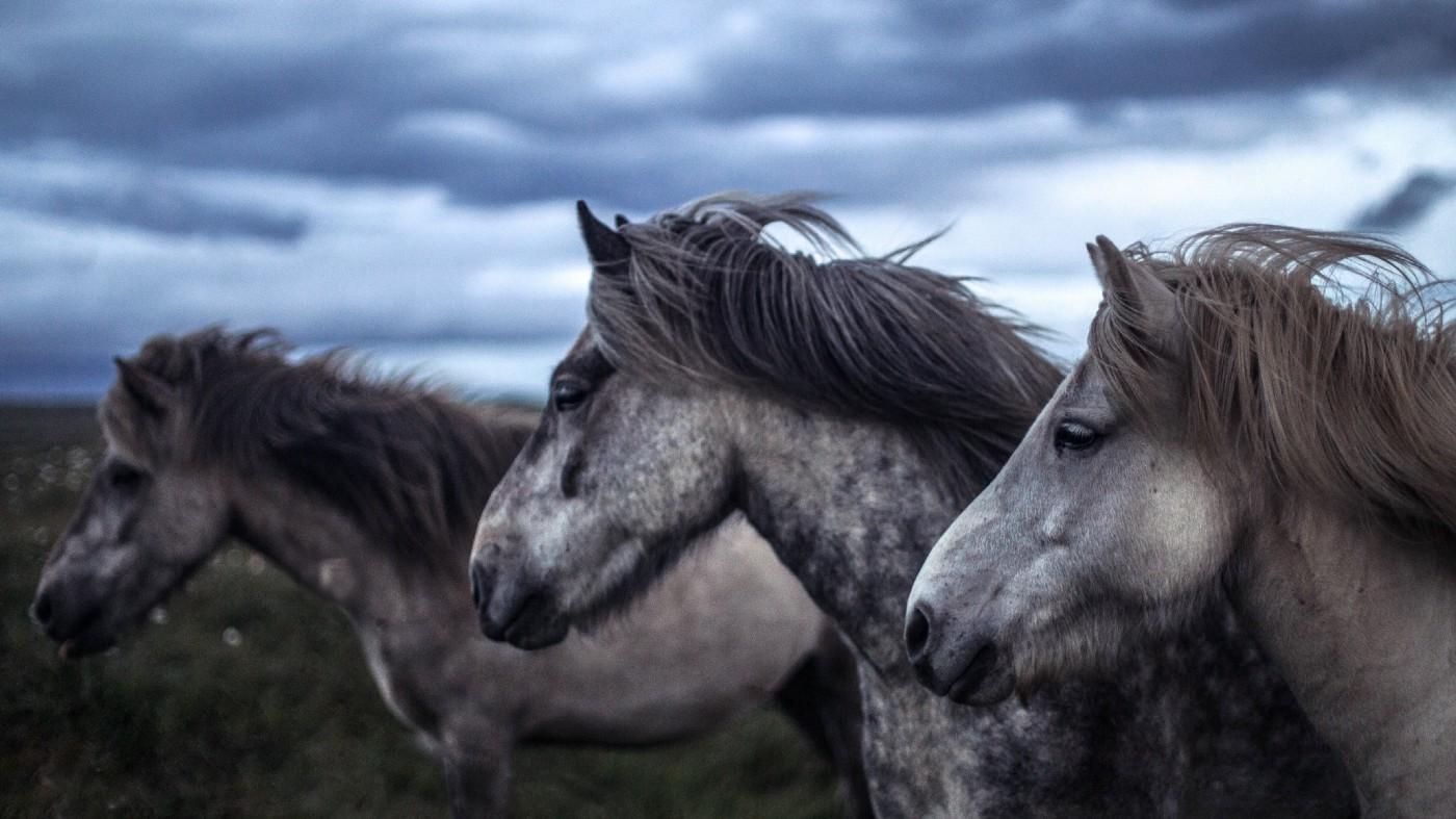 Three speckeled horses stand in the wind under a cloudy sky.