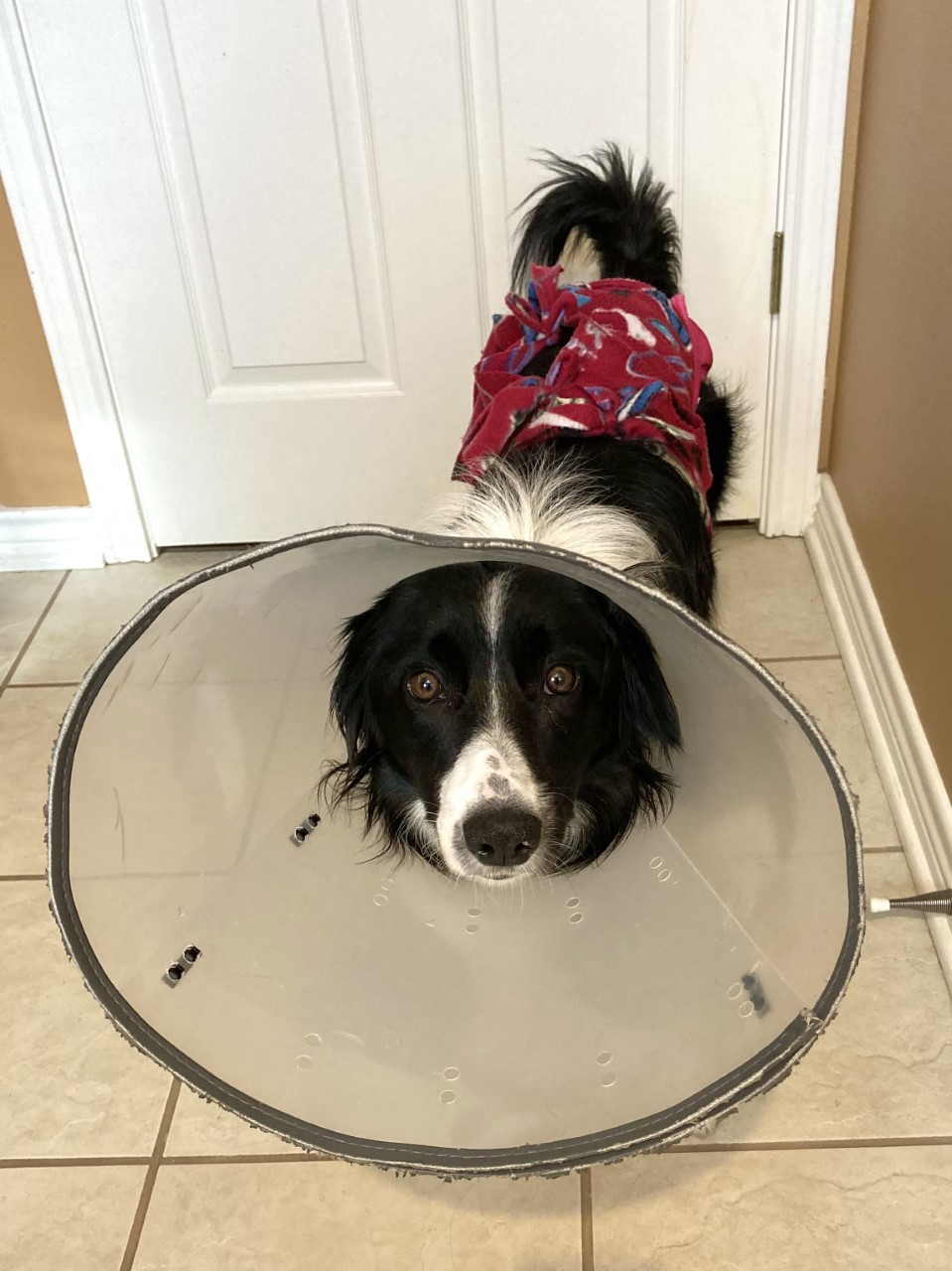 A border collie in a corset, panties, and a surgical cone.